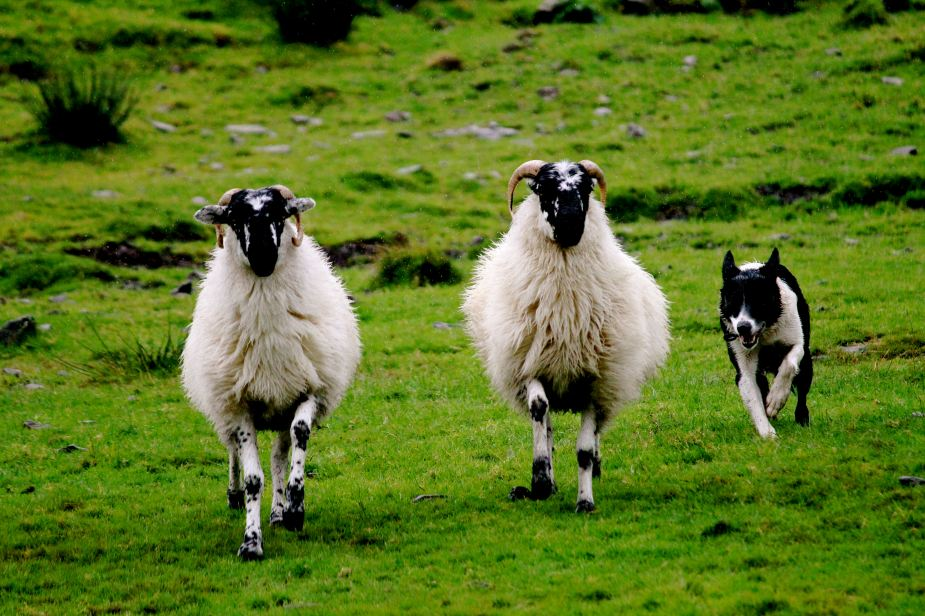 "In Ireland, there are no predators (foxes, wolves, etc). So, the sheep see the dogs as a threat, therefore the dogs are able to make the sheep move with commands and whistles. Amazingly, these commands were not ""yelled"" but just spoken, and both dogs knew what to do....even having the ability to separate two sheep from a group of about 10."