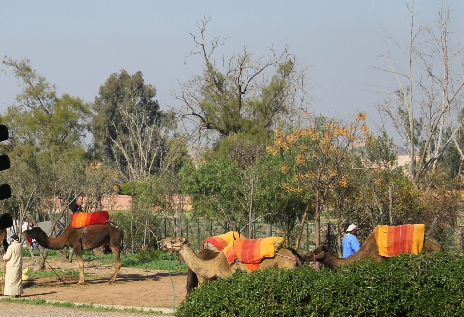 "In the ""new section"" of Marrakesh we found the tourist attraction of camel rides through the parks"